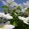今年も咲いてたクレマチス(*'▽')