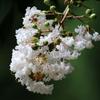 白花サルスベリ