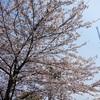 桜クエスト4(隅田公園[墨田区側])