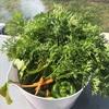 初霜が降りたこの日、家庭菜園の野菜を間引いてお昼と夕食で食す… 間引き野菜を食べられるのも家庭菜園の醍醐味ですね…