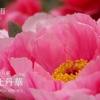 二十四節気七十二候 「穀雨 牡丹華」(2017/4/30)