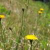 黄色を咲かせる時間は短いけれど、精一杯咲くその姿に...