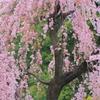 枝垂れ桜・七分咲き?(みんな笑顔)
