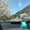兵庫県と桜並木