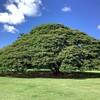 ビバ!ハワイ この木なんの木日立の樹・モアナルアガーデンズ