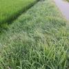 畦草刈り・味肥・