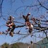 桜咲いたどー