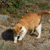 自由猫ダイちゃん、膿瘍(のうよう)のため手術です。