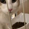 最近グルメに目覚めたひまりちゃん!我が家のお猫様ひま日記14