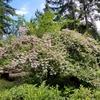 カナダ西海岸の庭で初夏を思わせる花。それから夏の予定。
