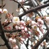 富士桜が開花した