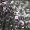 しだれ桃の里 2013春 豊田