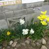 佐市さんのスイセンが今年も咲きました。