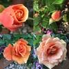 13本のバラの名前💛その3