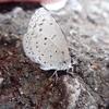 真っ白な翅のシジミチョウ ルリシジミ?ヤマトシジミ?