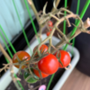 ベランダ栽培で育てたミニトマトが収穫出来たので栽培中の疑問と解決法を記録しておきます