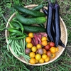 夏野菜採れ始めました!!
