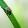 コガネムシの幼虫を駆除してサツマイモを守る方法!