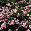 花フェスタ記念公園の咲き始めの赤いバラ