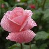 雨に濡れる薔薇