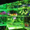 日本橋アートアクアリウム2018 幻想的な空間で金魚の涼を感じよう
