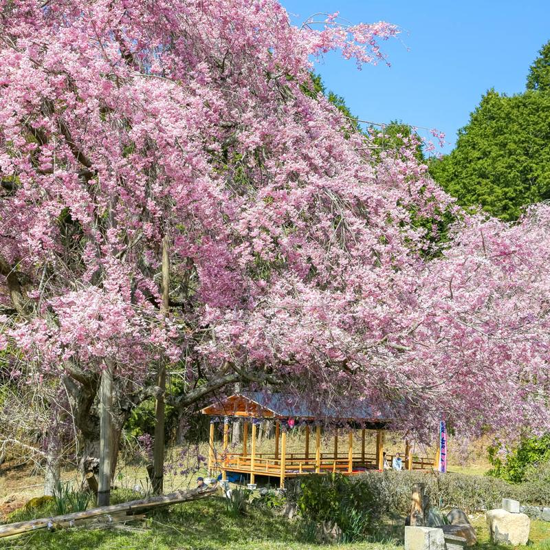 京都・京北に桜の新名所が誕生!宝泉寺「桜の公園」