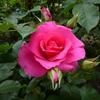 薔薇(後編)