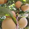 豊作の柿、成りすぎて幹が傾く
