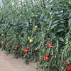 夏野菜の収穫を継続。秋冬野菜専用畑に施肥しました (^o^)