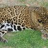 ジャガーの特徴:web動物図鑑