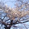 村富神社のさくら情報入手 3月20日!