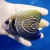 【現物4】タテジマキンチャクダイ(ウズキン) 11.5cm±! 海水魚 ヤッコ 15時までのご注文で当日発送【ヤッコ】