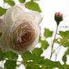 ブールドネージュ開花