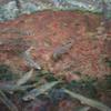 アユ Plecoglossus altivelis altivelis