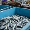 2021年6月5日 小浜漁港 お魚情報