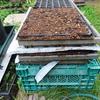 長ネギの土寄せとダイコン・ノラボウナの播種
