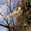 駒沢オリンピック公園の梅