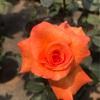 オレンジ色のバラ「ケニギンベアトリックス」は鉢で育てやすい!