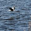 餌を飲み込んで手賀沼湖面を飛ぶアオサギ