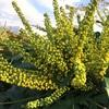 マホニアの黄色い花