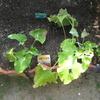 【家庭菜園】ミニゴボウを収穫しました