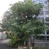 大阪の植物園にてアボカド発見!