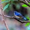 正月三日、手賀の丘公園で見つけた「幸せの青い鳥ルリビタキ」