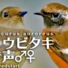 ジョウビタキの鳴き声【野鳥図鑑・鳴き声図鑑】Phoenicurus auroreus Daurian Redstart
