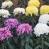 栗林菊花展に行ってきました