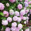 【釜山7月行事】影島(太宗台)の紫陽花祭り