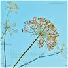 ディルの種&フェヌグリーク・スプラウト|種まきとこぼれ種