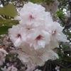まだまだ観れます新宿御苑の桜