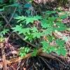 樹木医師の盆栽に魅せられて、其ノ八 「初めてのケト土」
