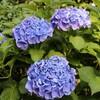 紫陽花と蓮が咲く『三室戸寺』に行ってみた in京都
